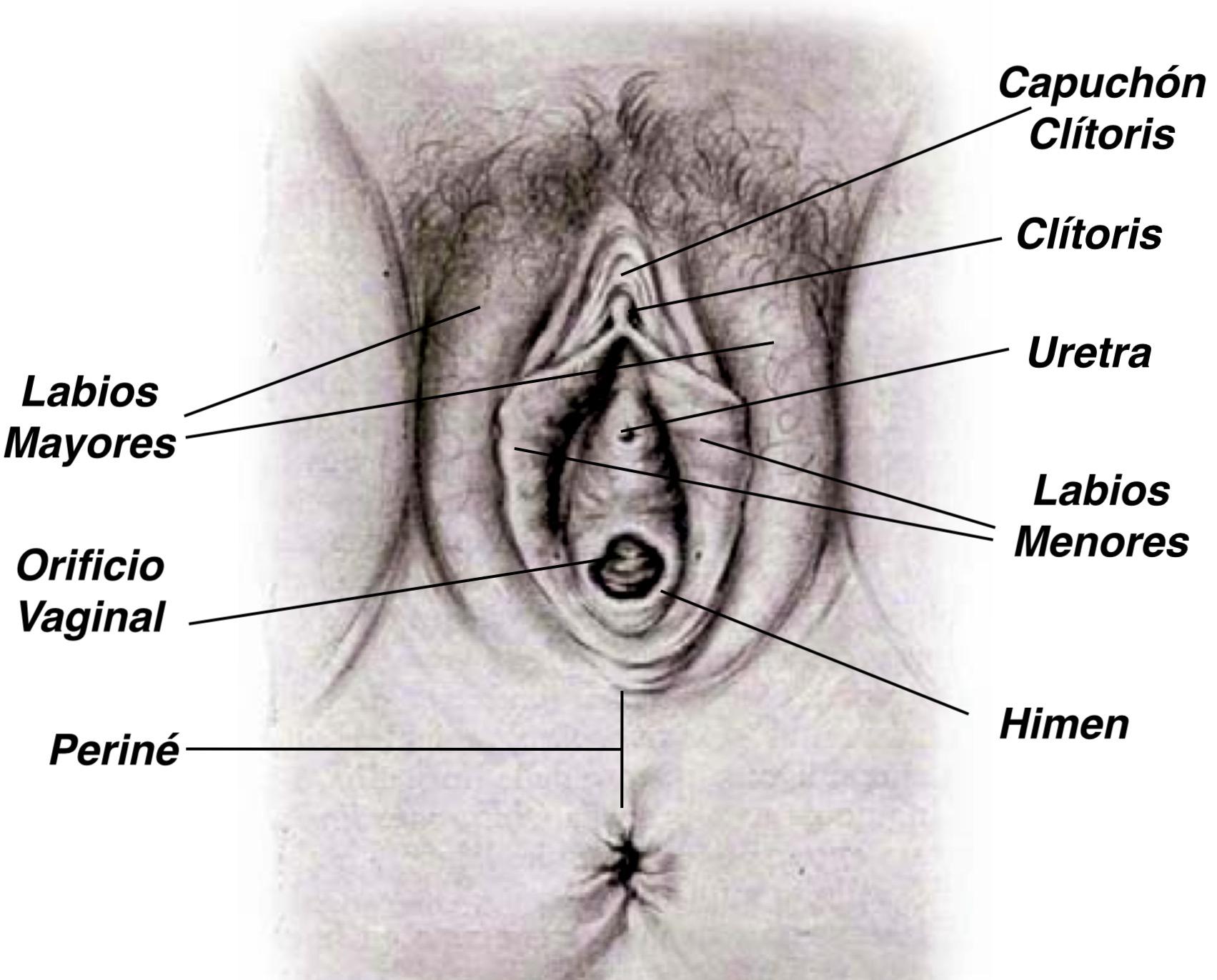 Anatomía general del aparato genital femenino - Intimagyne | Clínica ...
